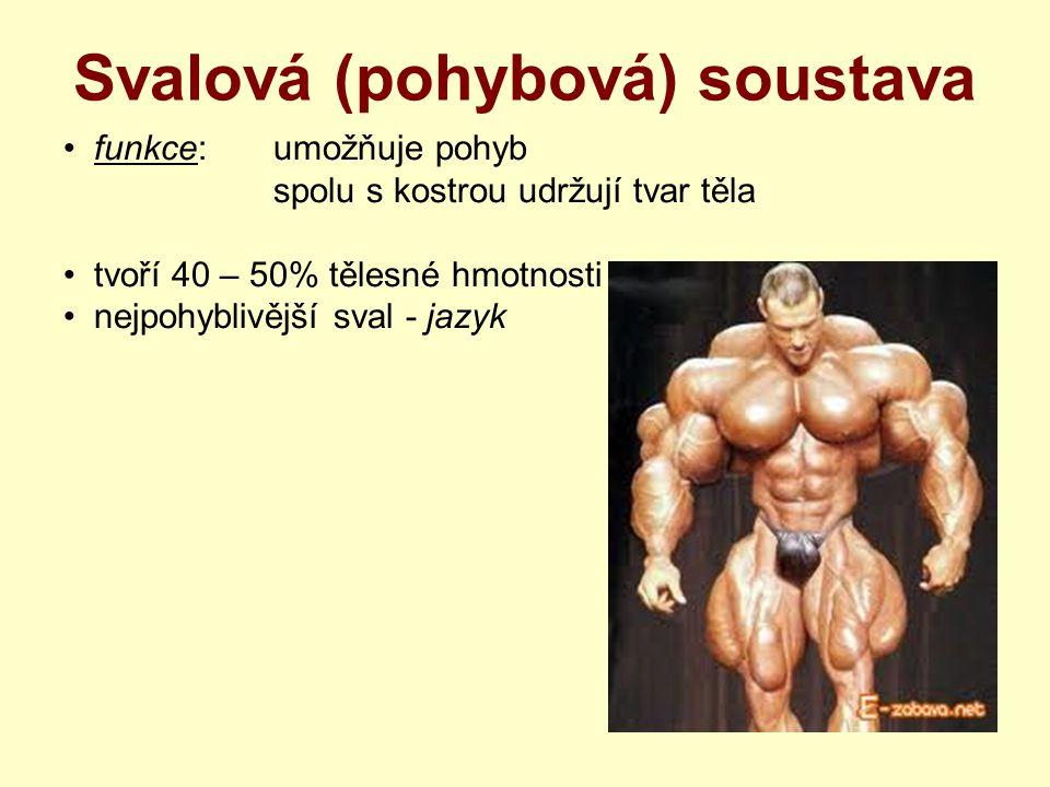 Svalová (pohybová) soustava Svaly trupu velký prsní sval mezižeberní svaly bránice břišní svaly – přímé, šikmé příčné trapézový sval široký sval zádový dýchací svaly