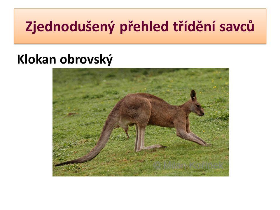 Zjednodušený přehled třídění savců KOALA MEDVÍDKOVITÁ Slovo koala je domorodého původu a znamená nepije .
