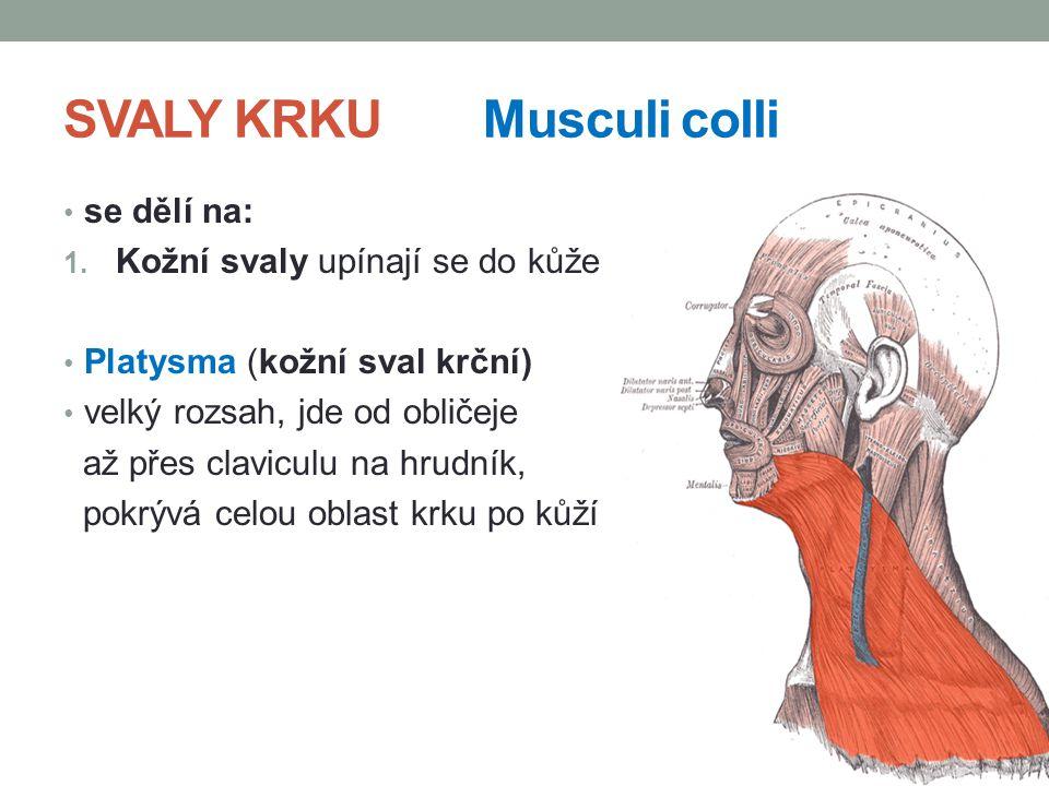 SVALY KRKUMusculi colli se dělí na: 1. Kožní svaly upínají se do kůže Platysma (kožní sval krční) velký rozsah, jde od obličeje až přes claviculu na h