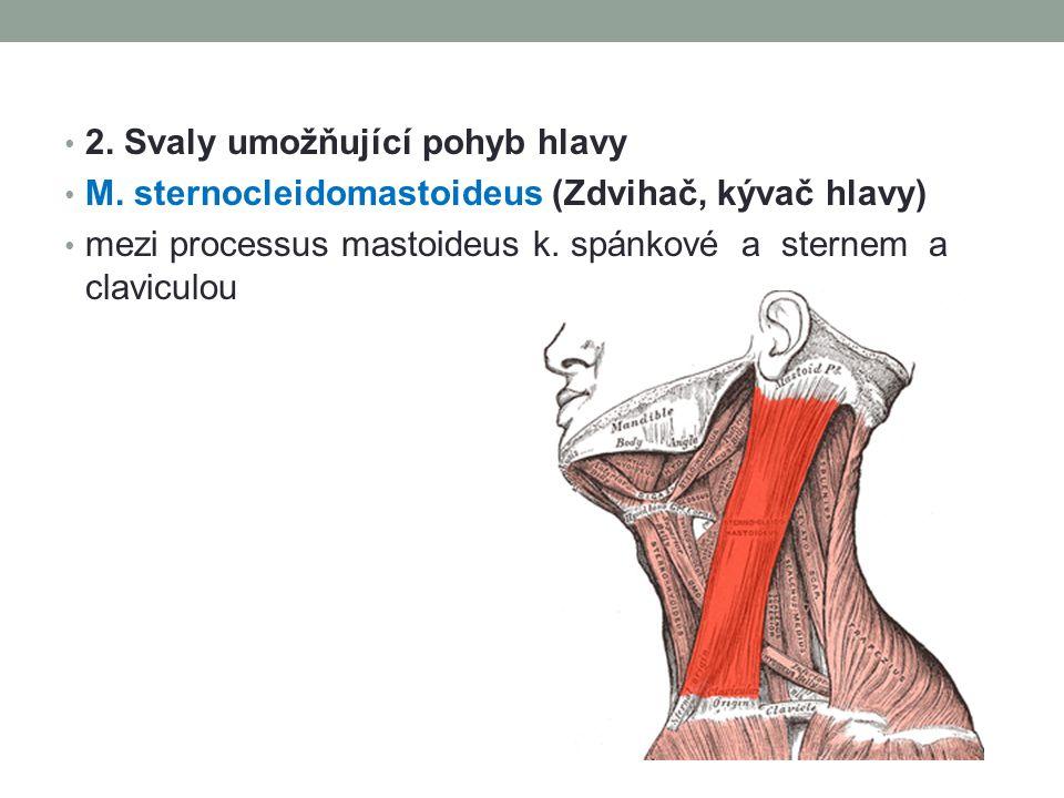2. Svaly umožňující pohyb hlavy M. sternocleidomastoideus (Zdvihač, kývač hlavy) mezi processus mastoideus k. spánkové a sternem a claviculou