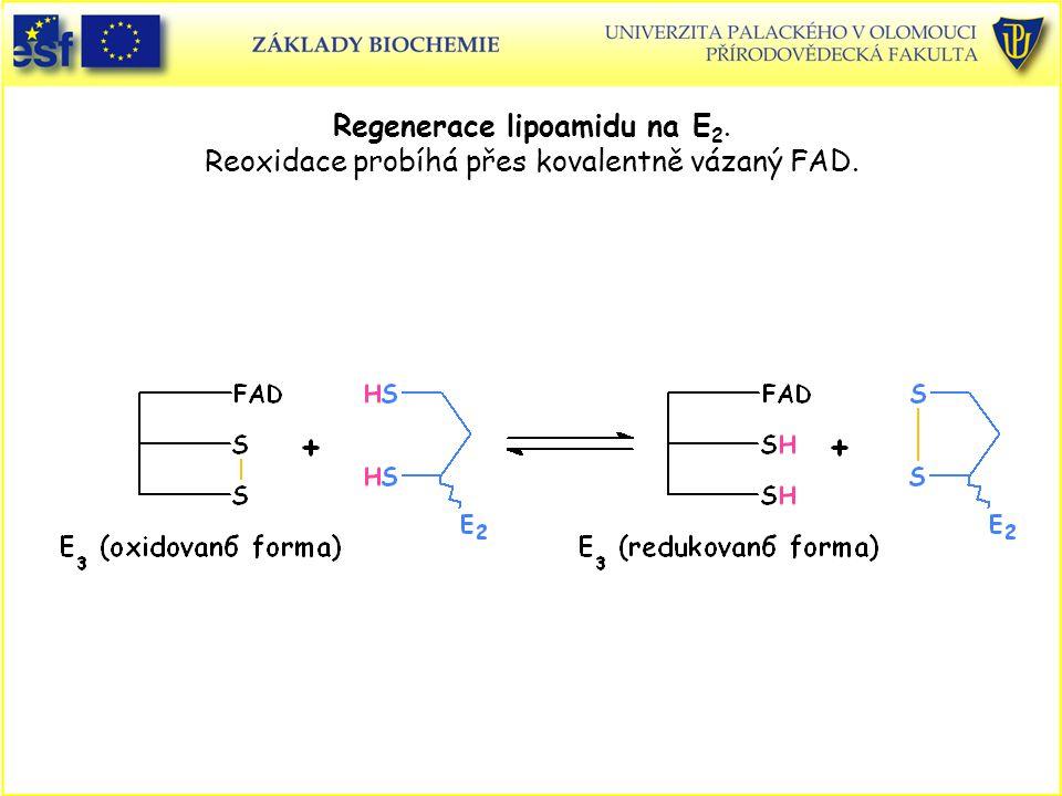 Regenerace lipoamidu na E 2. Reoxidace probíhá přes kovalentně vázaný FAD.