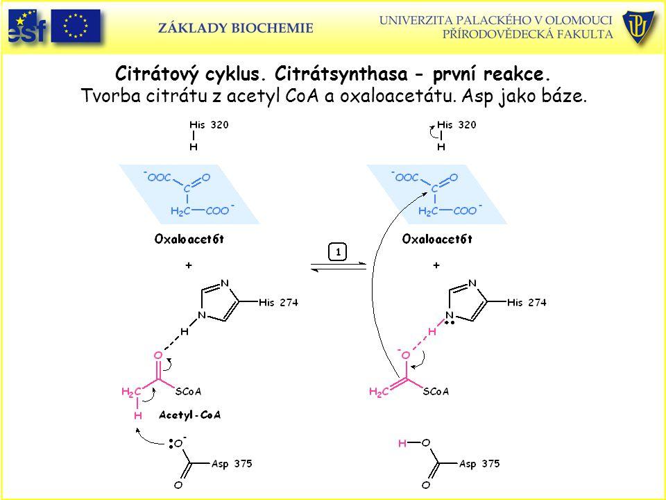 Citrátový cyklus. Citrátsynthasa - první reakce. Tvorba citrátu z acetyl CoA a oxaloacetátu. Asp jako báze.