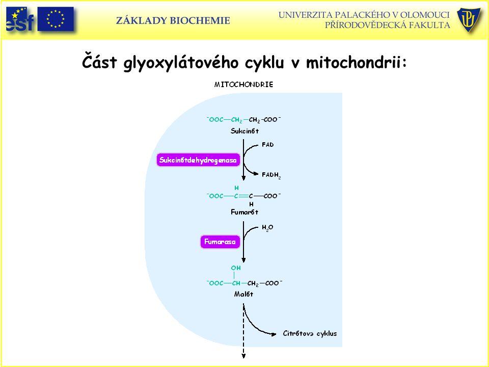 Část glyoxylátového cyklu v mitochondrii: