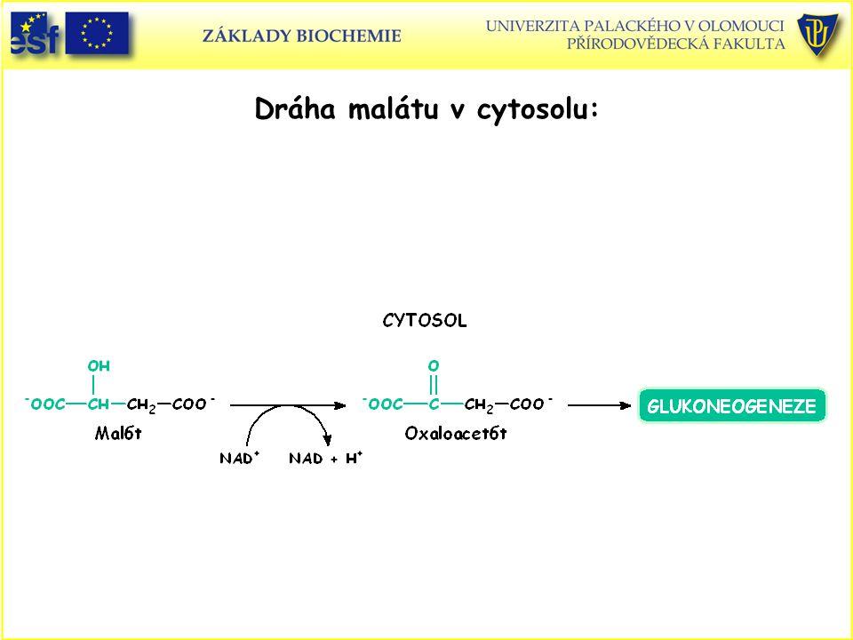 Dráha malátu v cytosolu: