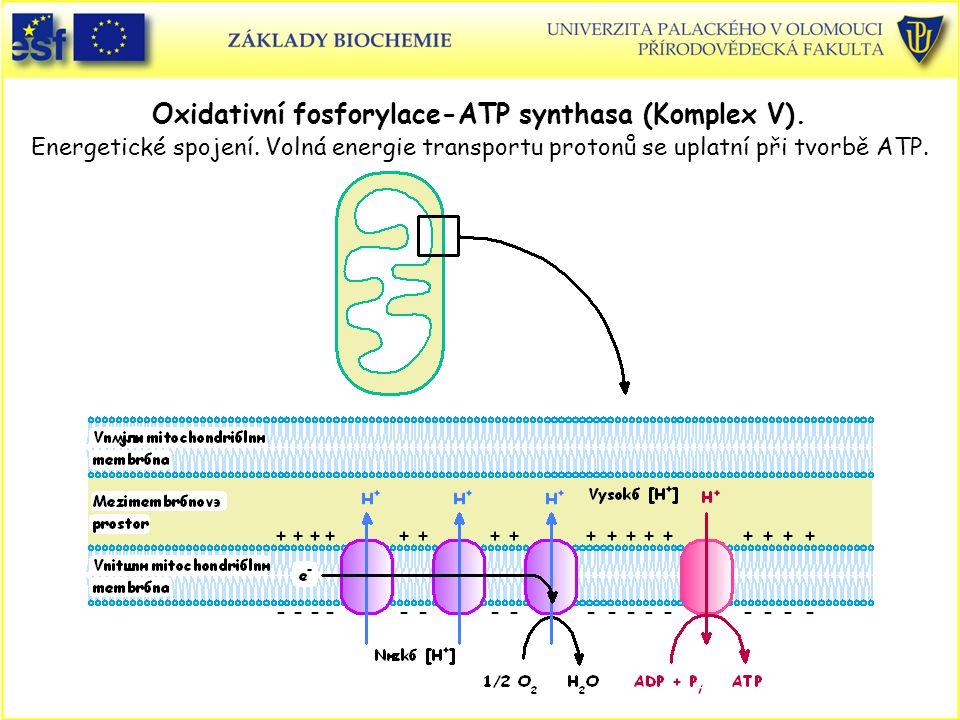 Oxidativní fosforylace-ATP synthasa (Komplex V). Energetické spojení. Volná energie transportu protonů se uplatní při tvorbě ATP.