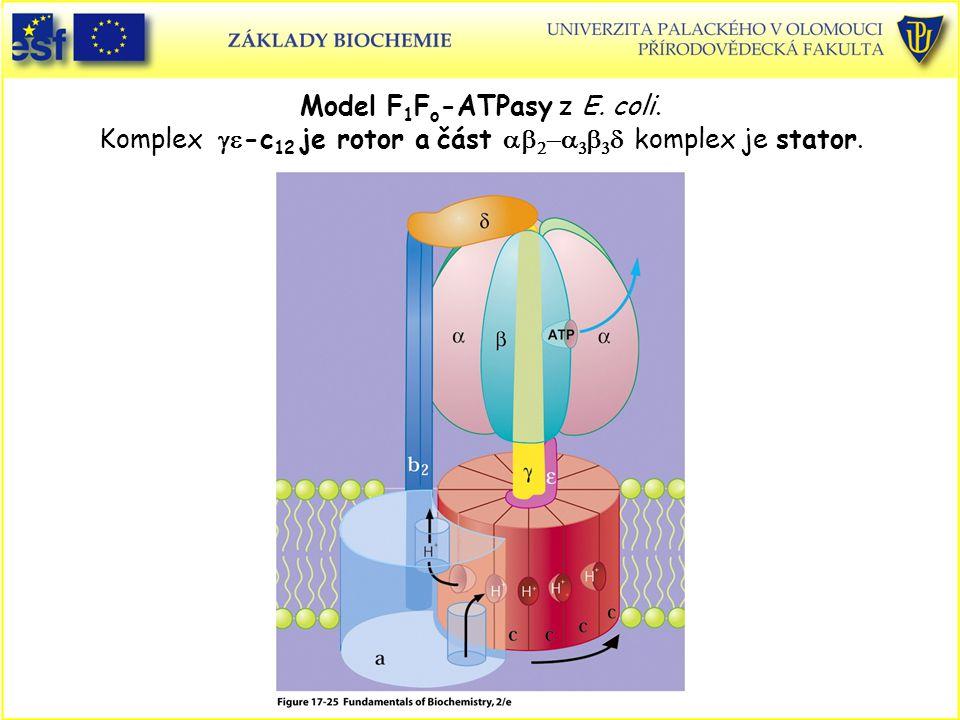 Model F 1 F o -ATPasy z E. coli. Komplex  -c 12 je rotor a část        komplex je stator.