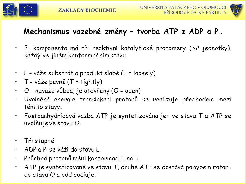 Mechanismus vazebné změny – tvorba ATP z ADP a P i. F 1 komponenta má tři reaktivní katalytické protomery (  jednotky), každý ve jiném konformačním