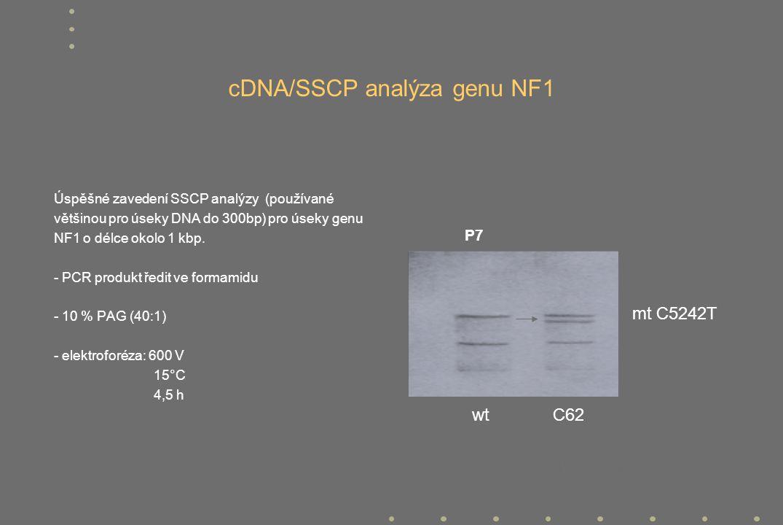 podmínky elektroforetické separace : 12% PAGE (60:1) / 150V / 16 hod. / r.t. P7 mt C5242T wt C62 cDNA/SSCP analýza genu NF1 Úspěšné zavedení SSCP anal