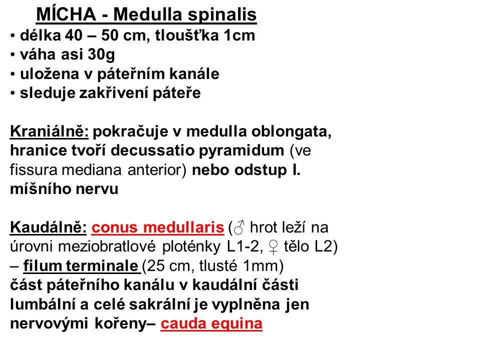 MÍCHA - Medulla spinalis délka 40 – 50 cm, tloušťka 1cm váha asi 30g uložena v páteřním kanále sleduje zakřivení páteře Kraniálně: pokračuje v medulla oblongata, hranice tvoří decussatio pyramidum (ve fissura mediana anterior) nebo odstup I.