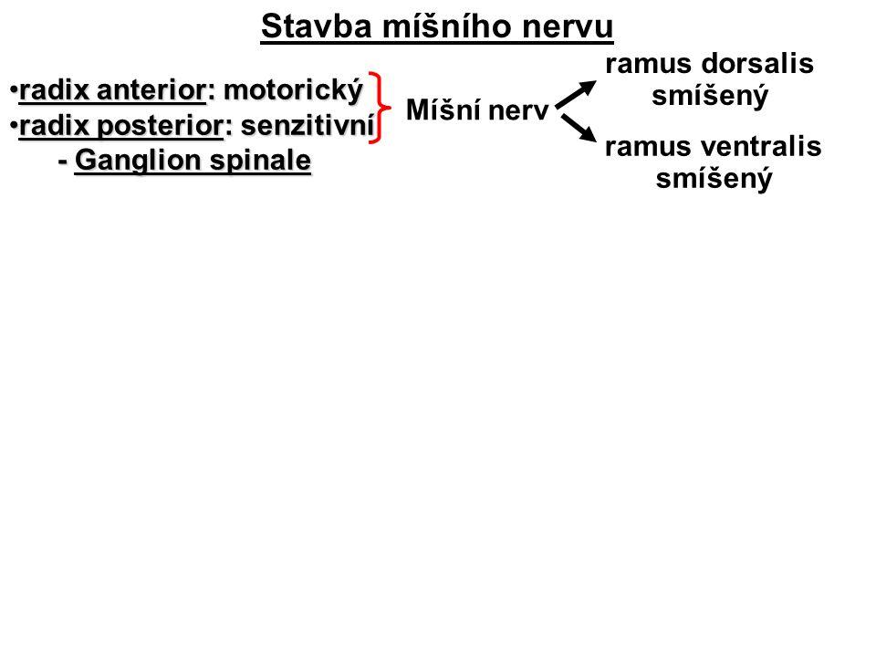 Stavba míšního nervu radix anterior: motorickýradix anterior: motorický radix posterior: senzitivníradix posterior: senzitivní - Ganglion spinale - Ganglion spinale Míšní nerv ramus ventralis smíšený ramus dorsalis smíšený