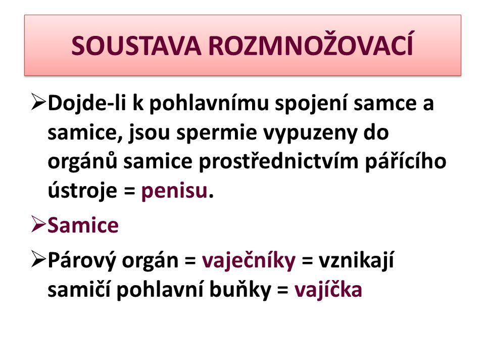 SOUSTAVA ROZMNOŽOVACÍ  Dojde-li k pohlavnímu spojení samce a samice, jsou spermie vypuzeny do orgánů samice prostřednictvím pářícího ústroje = penisu.