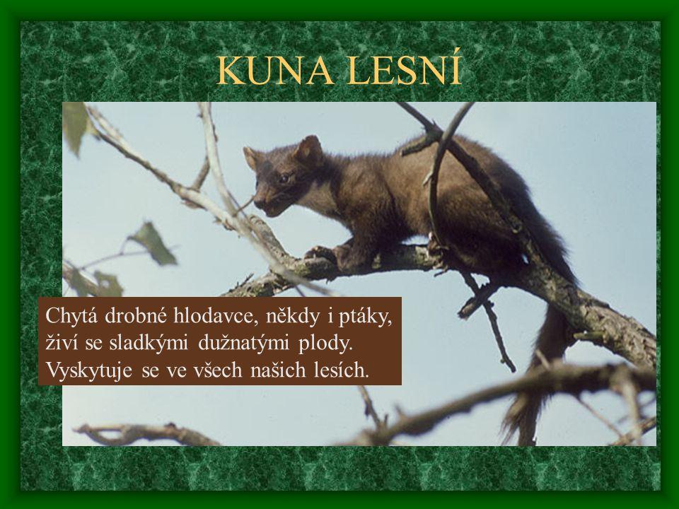 Chytá drobné hlodavce, někdy i ptáky, živí se sladkými dužnatými plody. Vyskytuje se ve všech našich lesích.