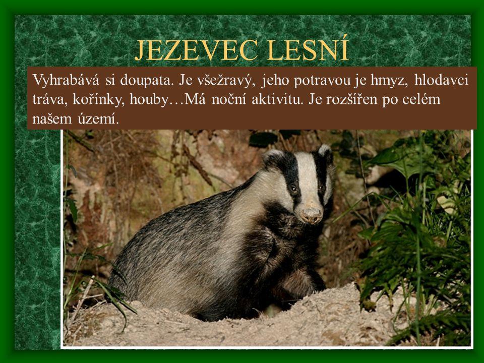 JEZEVEC LESNÍ Vyhrabává si doupata. Je všežravý, jeho potravou je hmyz, hlodavci tráva, kořínky, houby…Má noční aktivitu. Je rozšířen po celém našem ú
