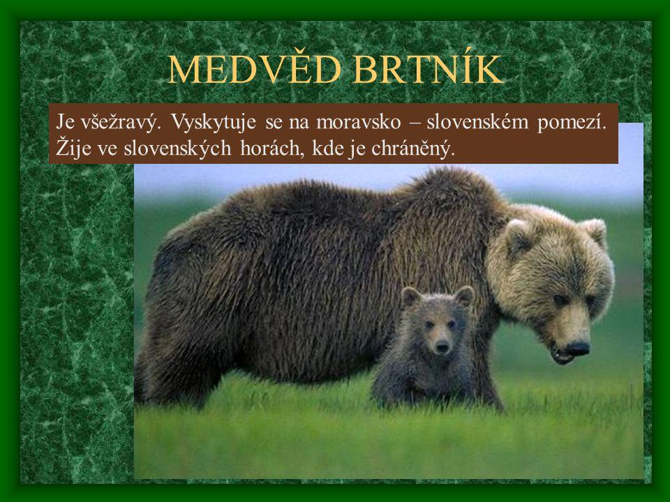 MEDVĚD BRTNÍK Je všežravý. Vyskytuje se na moravsko – slovenském pomezí. Žije ve slovenských horách, kde je chráněný.