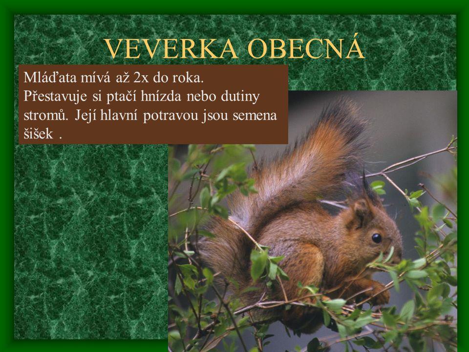 Mláďata mívá až 2x do roka. Přestavuje si ptačí hnízda nebo dutiny stromů. Její hlavní potravou jsou semena šišek.