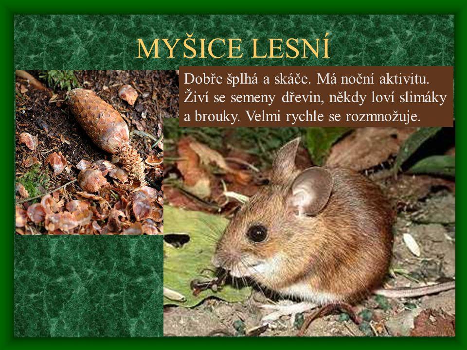 MYŠICE LESNÍ Dobře šplhá a skáče. Má noční aktivitu. Živí se semeny dřevin, někdy loví slimáky a brouky. Velmi rychle se rozmnožuje.