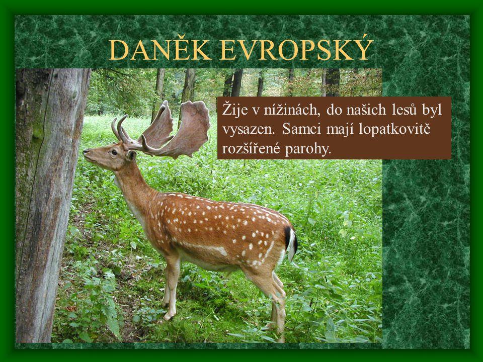 DANĚK EVROPSKÝ Žije v nížinách, do našich lesů byl vysazen. Samci mají lopatkovitě rozšířené parohy.