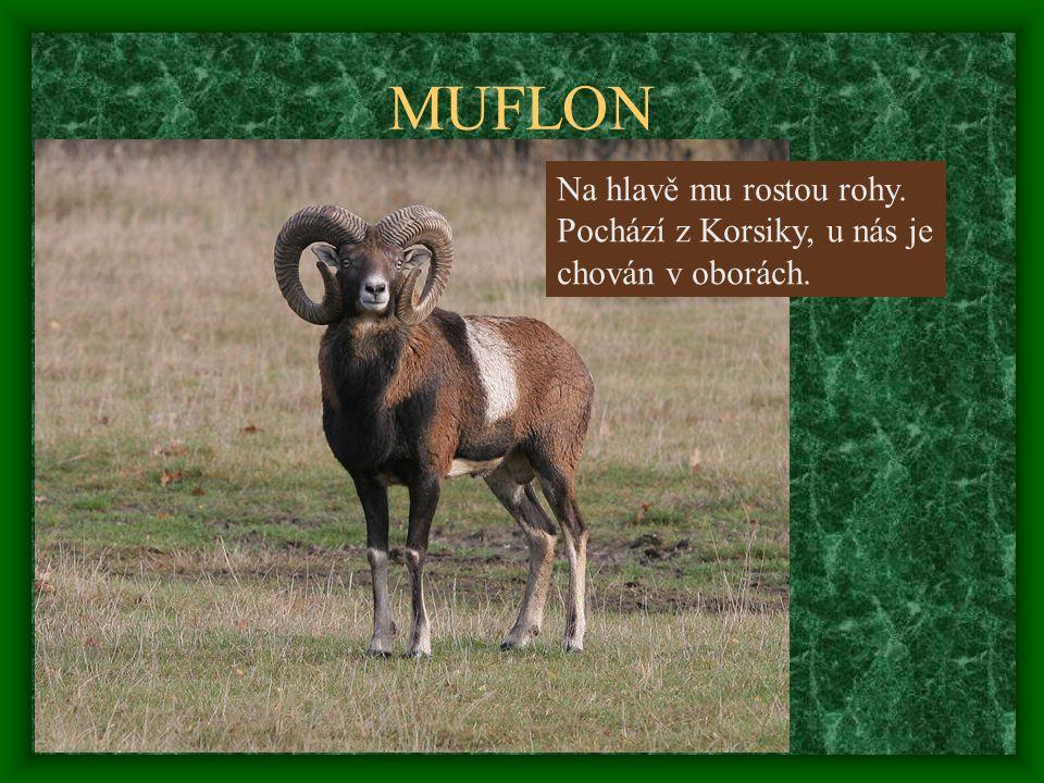 MUFLON Na hlavě mu rostou rohy. Pochází z Korsiky, u nás je chován v oborách.