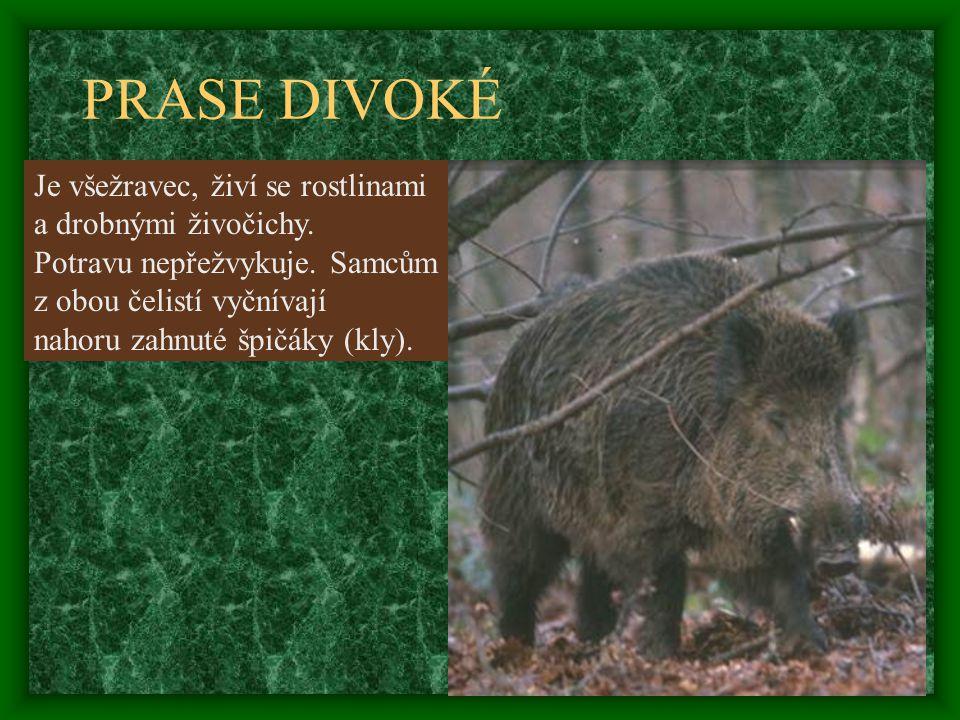 PRASE DIVOKÉ Je všežravec, živí se rostlinami a drobnými živočichy. Potravu nepřežvykuje. Samcům z obou čelistí vyčnívají nahoru zahnuté špičáky (kly)