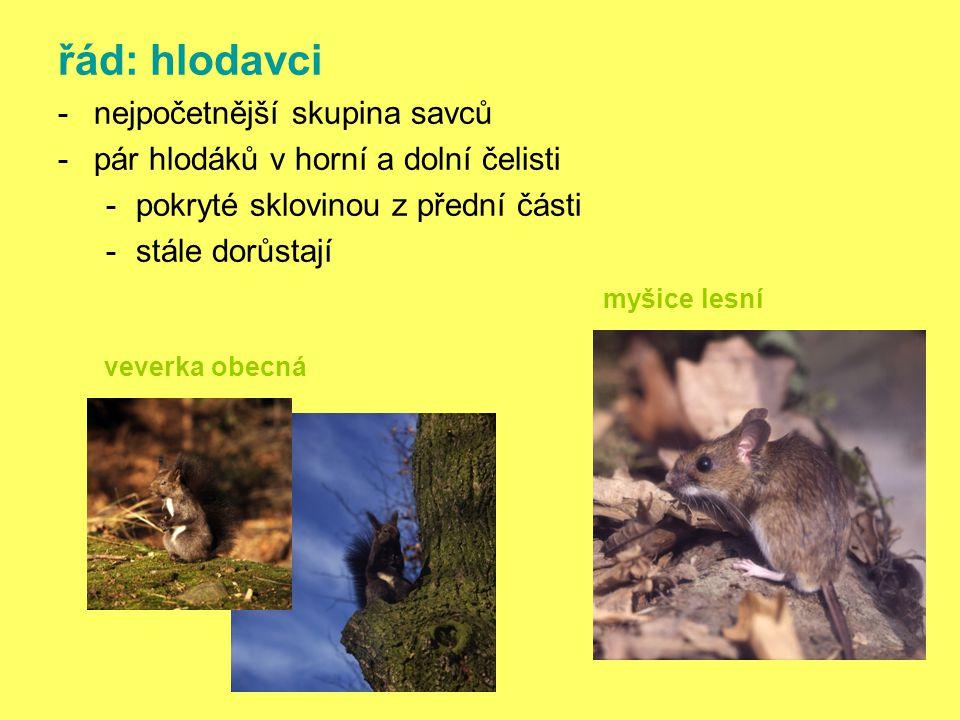 řád: hlodavci -nejpočetnější skupina savců -pár hlodáků v horní a dolní čelisti -pokryté sklovinou z přední části -stále dorůstají myšice lesní veverka obecná