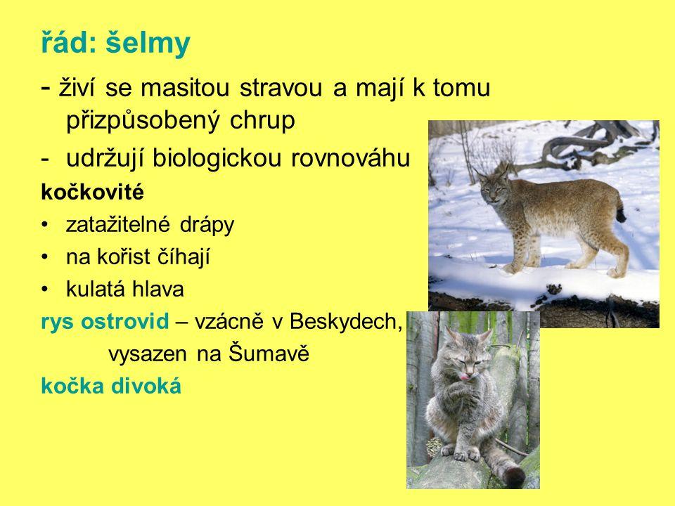 řád: šelmy - živí se masitou stravou a mají k tomu přizpůsobený chrup -udržují biologickou rovnováhu kočkovité zatažitelné drápy na kořist číhají kulatá hlava rys ostrovid – vzácně v Beskydech, vysazen na Šumavě kočka divoká