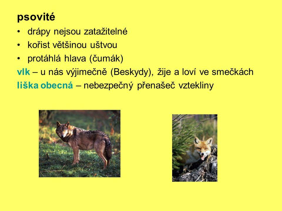 psovité drápy nejsou zatažitelné kořist většinou uštvou protáhlá hlava (čumák) vlk – u nás výjimečně (Beskydy), žije a loví ve smečkách liška obecná – nebezpečný přenašeč vztekliny