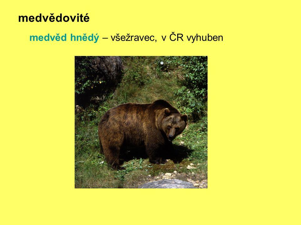 medvědovité medvěd hnědý – všežravec, v ČR vyhuben