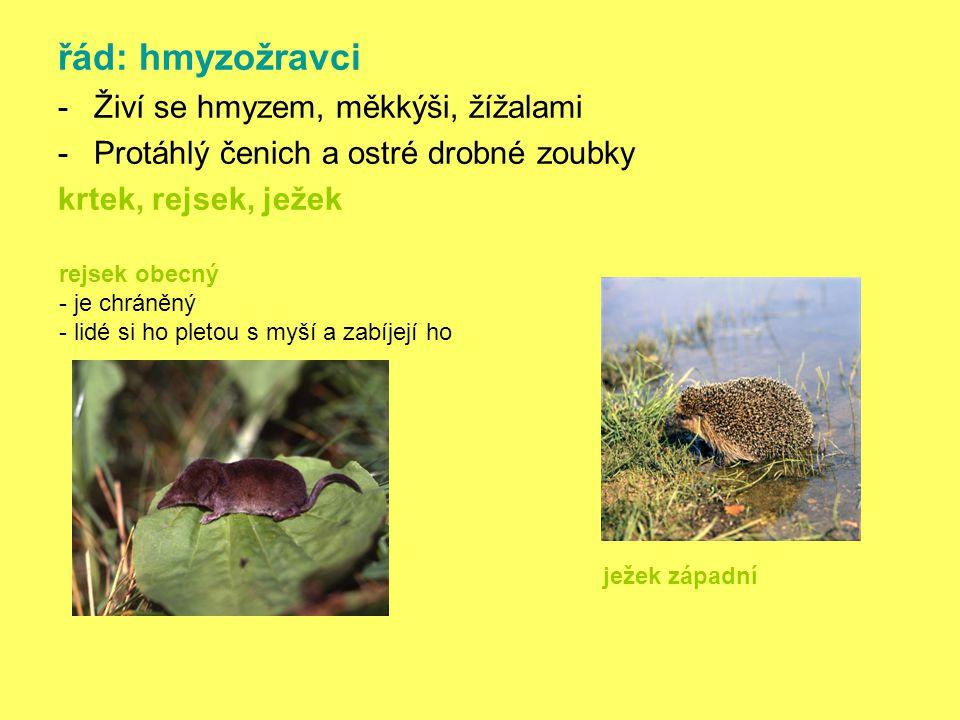 řád: hmyzožravci -Živí se hmyzem, měkkýši, žížalami -Protáhlý čenich a ostré drobné zoubky krtek, rejsek, ježek rejsek obecný - je chráněný - lidé si