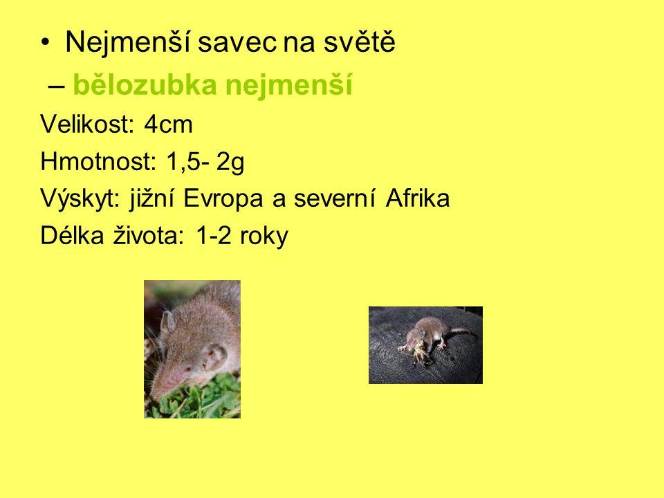 Nejmenší savec na světě – bělozubka nejmenší Velikost: 4cm Hmotnost: 1,5- 2g Výskyt: jižní Evropa a severní Afrika Délka života: 1-2 roky