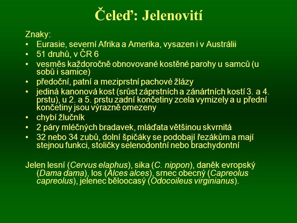 Čeleď: Jelenovití Znaky: Eurasie, severní Afrika a Amerika, vysazen i v Austrálii 51 druhů, v ČR 6 vesměs každoročně obnovované kostěné parohy u samců