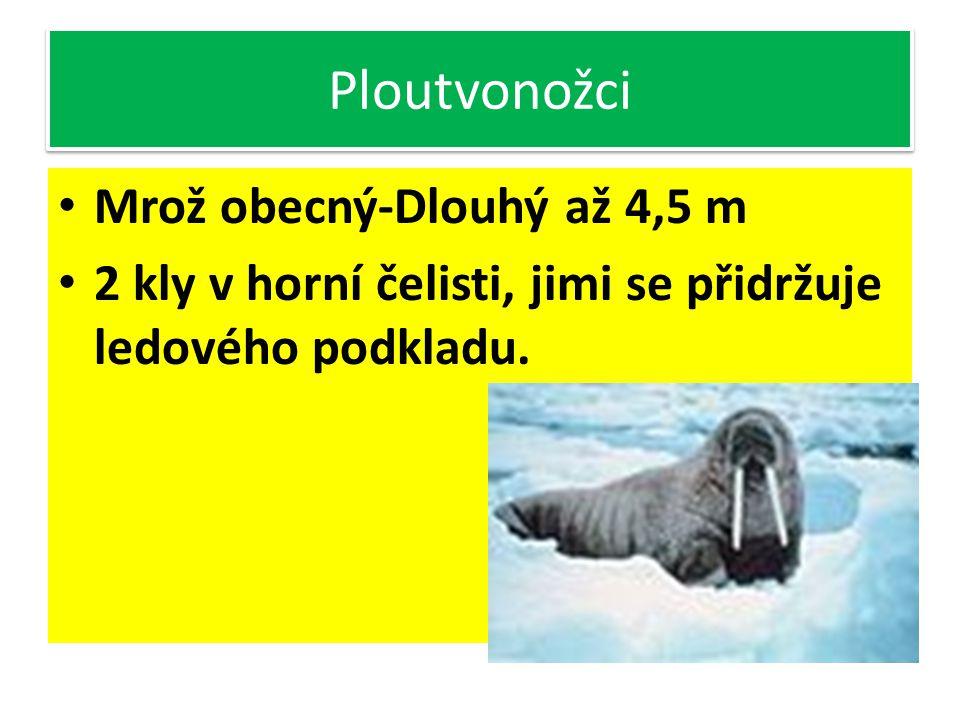 Ploutvonožci Tuleň obecný Žije ve vodě, na souši nemotorný pohyb pomocí ploutví. Silná vrstva podkožního tuku Nemá ušní boltce, zvukovody a nosní duti