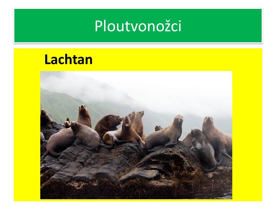 Ploutvonožci Lachtan Nejvíce podobný předkům šelem Mají zachovány ušní boltce Pohybují se zdatně i po souši, zadní končetiny podsunou pod tělo