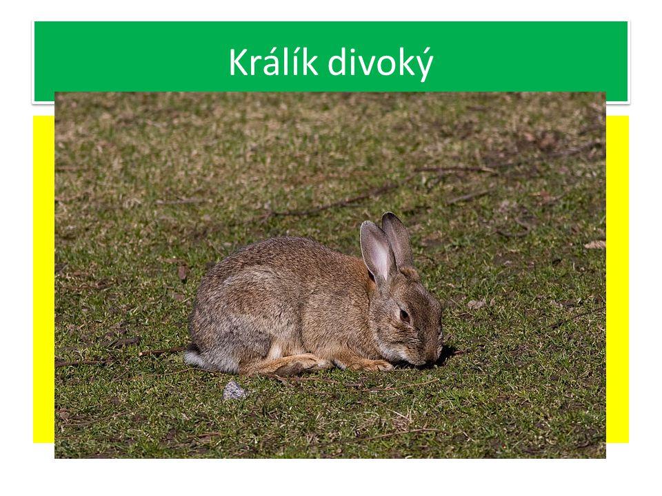 Pochází z králíka divokého, jeho domovem je Španělsko a severní Afrika Býložravci Přední končetiny uzpůsobeny k hrabání Chrup neúplný-chybí špičáky Ve