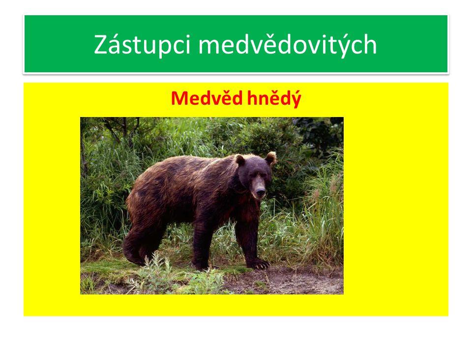 Zástupci medvědovitých Medvěd hnědý- největší evropská šelma V ČR- výskyt ojediněle v Beskydech Všežravec Hybernuje Označuje si území tím, že ostrými drápy strhává kůru stromů