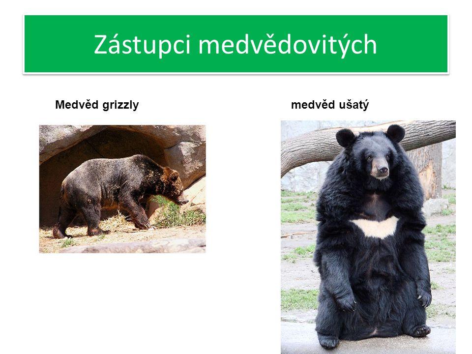 Zástupci medvědovitých Medvěd grizzly- Výskyt sever Ameriky (USA, Kanada) Na ramenou výrazný hrb, tím je také rozpoznatelný od jiných poddruhů Nešplhají po stromech- díky své velikosti Medvěd ušatý- Výskyt východní Asie Na hrudi bílá skvrna ve tvaru písmena V Menší z medvědovitých šelem, téměř vegetarián