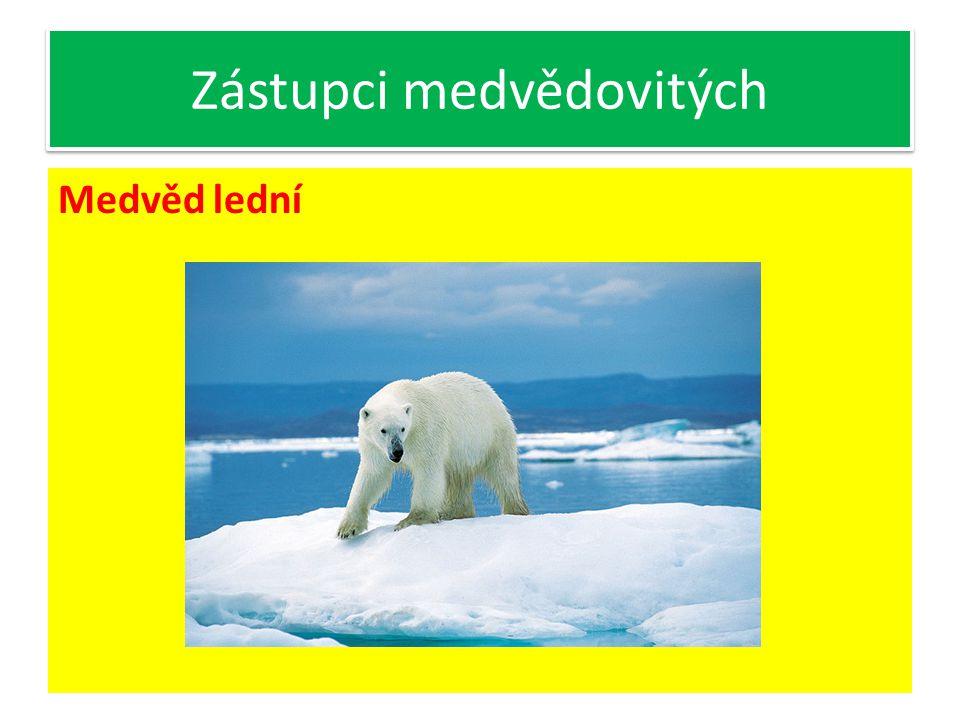 Zástupci medvědovitých Medvěd lední- Zbarvení splývá se sněhem polárních polí Loví tuleně a ryby Výborný plavec, d okonalý chrup, 4 špičáky v chrupu, největší stoličky = trháky Potrava maso ulovených zvířat