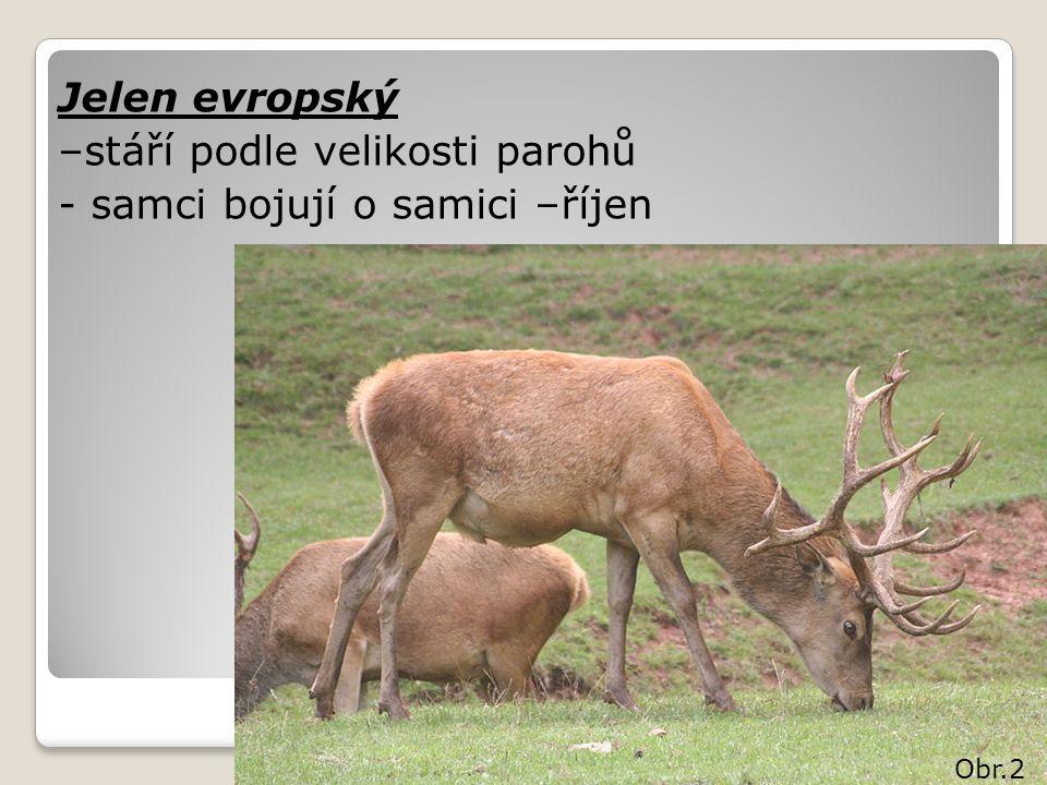 Jelen evropský –stáří podle velikosti parohů - samci bojují o samici –říjen Obr.2
