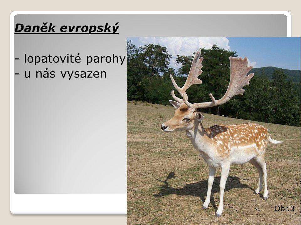 Daněk evropský - lopatovité parohy - u nás vysazen Obr.3