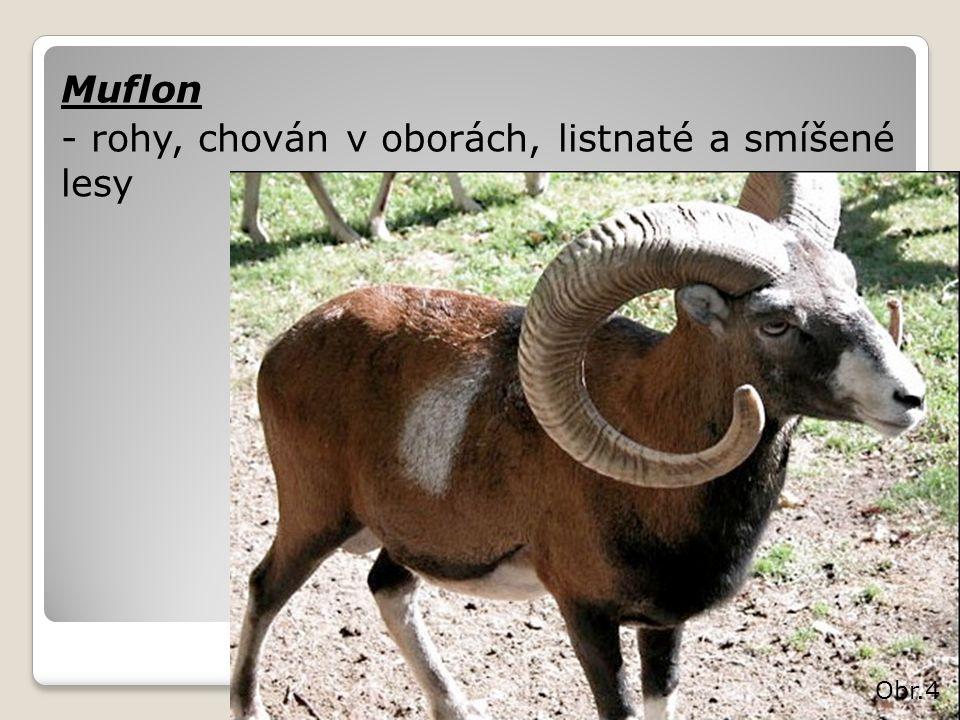 Muflon - rohy, chován v oborách, listnaté a smíšené lesy Obr.4