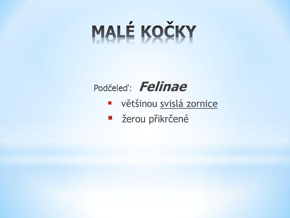 Podčeleď: Felinae  většinou svislá zornice  žerou přikrčené