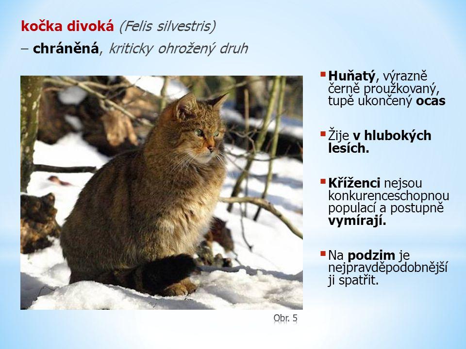 kočka divoká (Felis silvestris) – chráněná, kriticky ohrožený druh  Huňatý, výrazně černě proužkovaný, tupě ukončený ocas  Žije v hlubokých lesích.