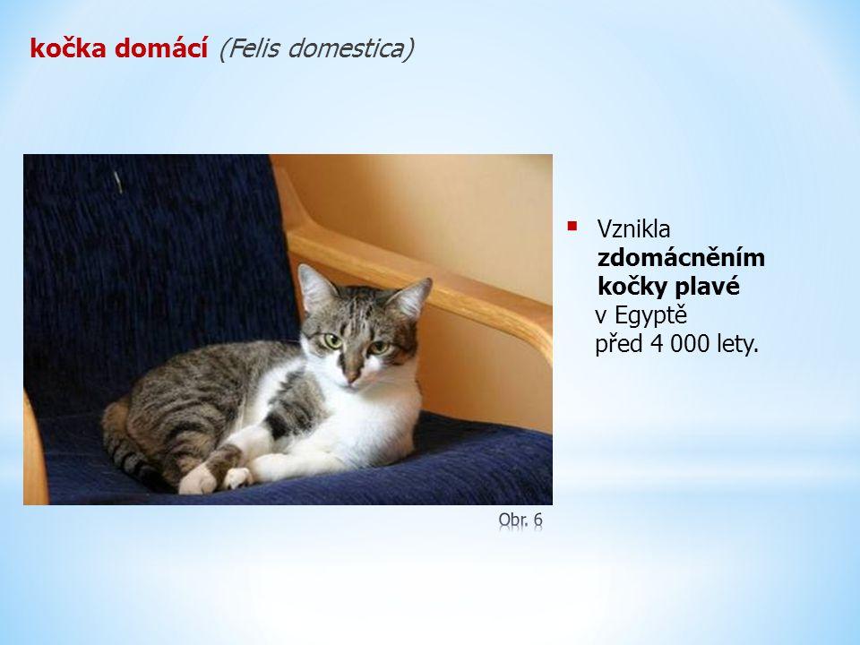 kočka domácí (Felis domestica)  Vznikla zdomácněním kočky plavé v Egyptě před 4 000 lety.