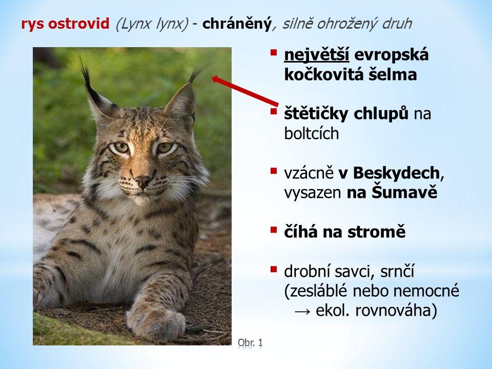 rys ostrovid (Lynx lynx) - chráněný, silně ohrožený druh  největší evropská kočkovitá šelma  štětičky chlupů na boltcích  vzácně v Beskydech, vysaz