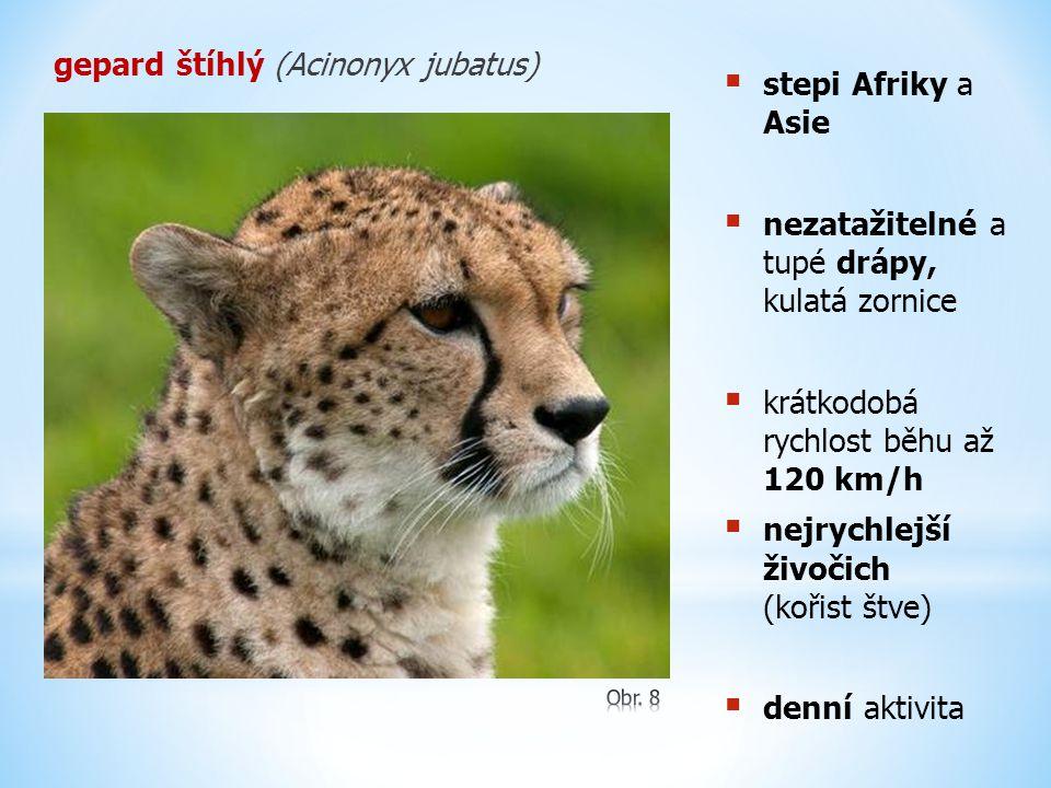gepard štíhlý (Acinonyx jubatus)  stepi Afriky a Asie  nezatažitelné a tupé drápy, kulatá zornice  krátkodobá rychlost běhu až 120 km/h  nejrychle
