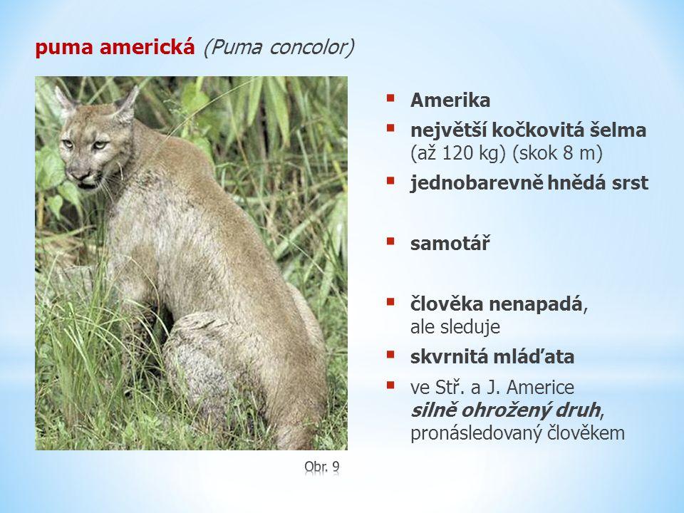 puma americká (Puma concolor)  Amerika  největší kočkovitá šelma (až 120 kg) (skok 8 m)  jednobarevně hnědá srst  samotář  člověka nenapadá, ale