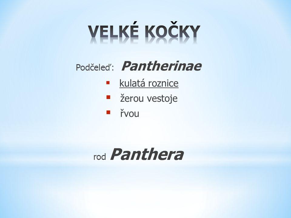 Podčeleď: Pantherinae  kulatá roznice  žerou vestoje  řvou rod Panthera