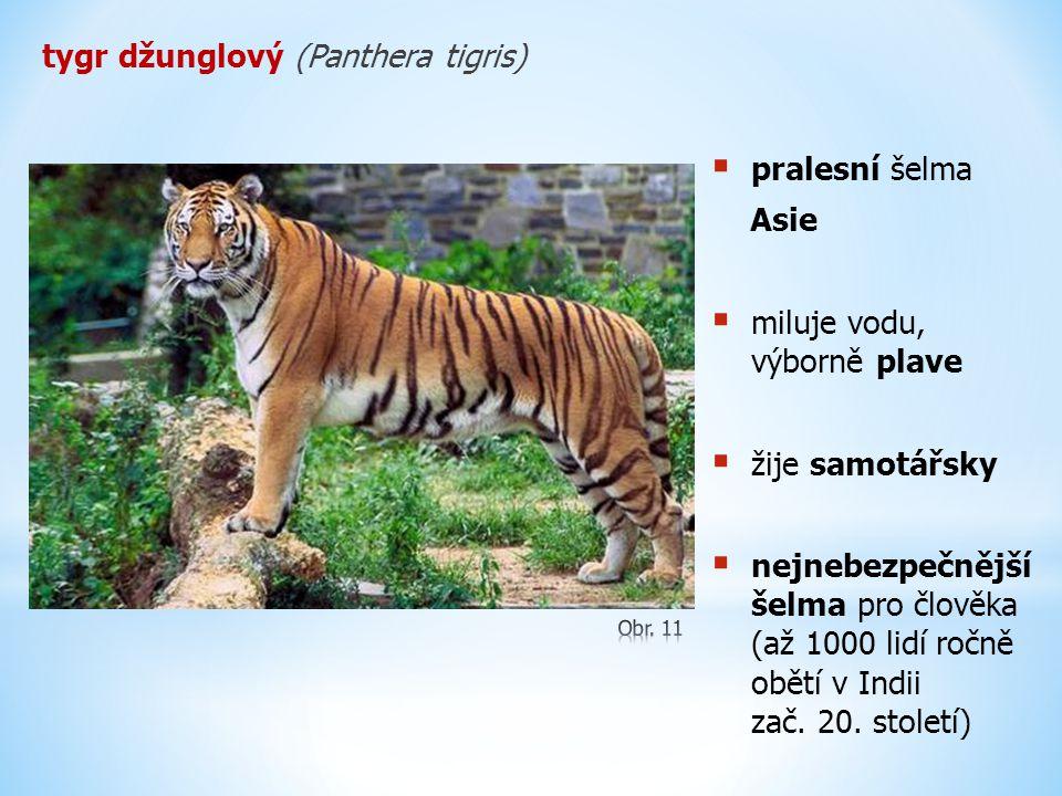 tygr džunglový (Panthera tigris)  pralesní šelma Asie  miluje vodu, výborně plave  žije samotářsky  nejnebezpečnější šelma pro člověka (až 1000 li