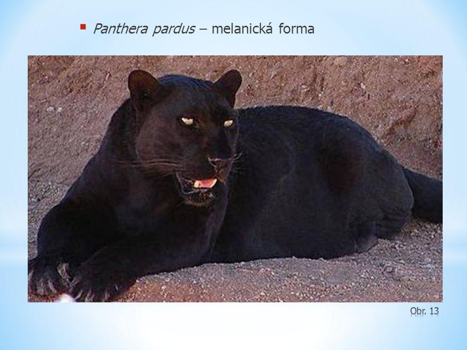  Panthera pardus – melanická forma
