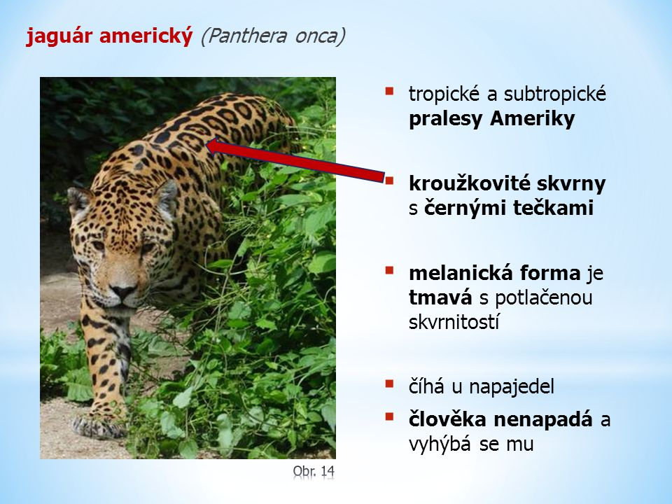 jaguár americký (Panthera onca)  tropické a subtropické pralesy Ameriky  kroužkovité skvrny s černými tečkami  melanická forma je tmavá s potlačenou skvrnitostí  číhá u napajedel  člověka nenapadá a vyhýbá se mu