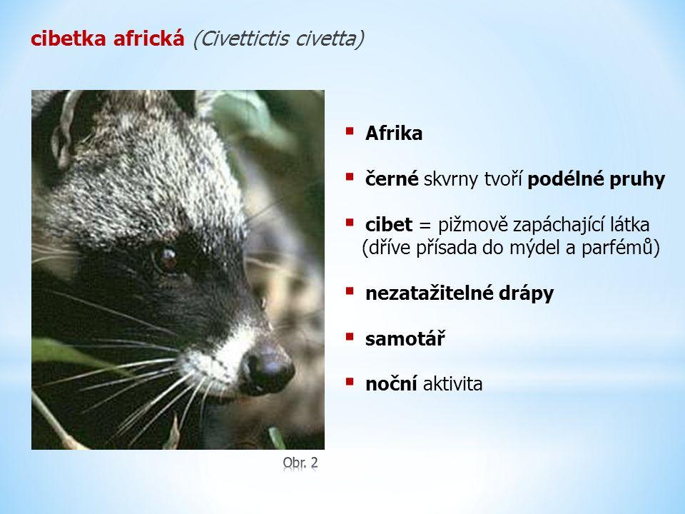 cibetka africká (Civettictis civetta)  Afrika  černé skvrny tvoří podélné pruhy  cibet = pižmově zapáchající látka (dříve přísada do mýdel a parfém